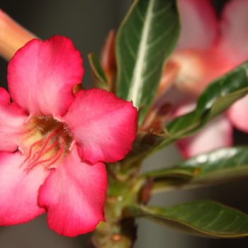 The Desert Rose Pink Flower Desert Flower Adenium